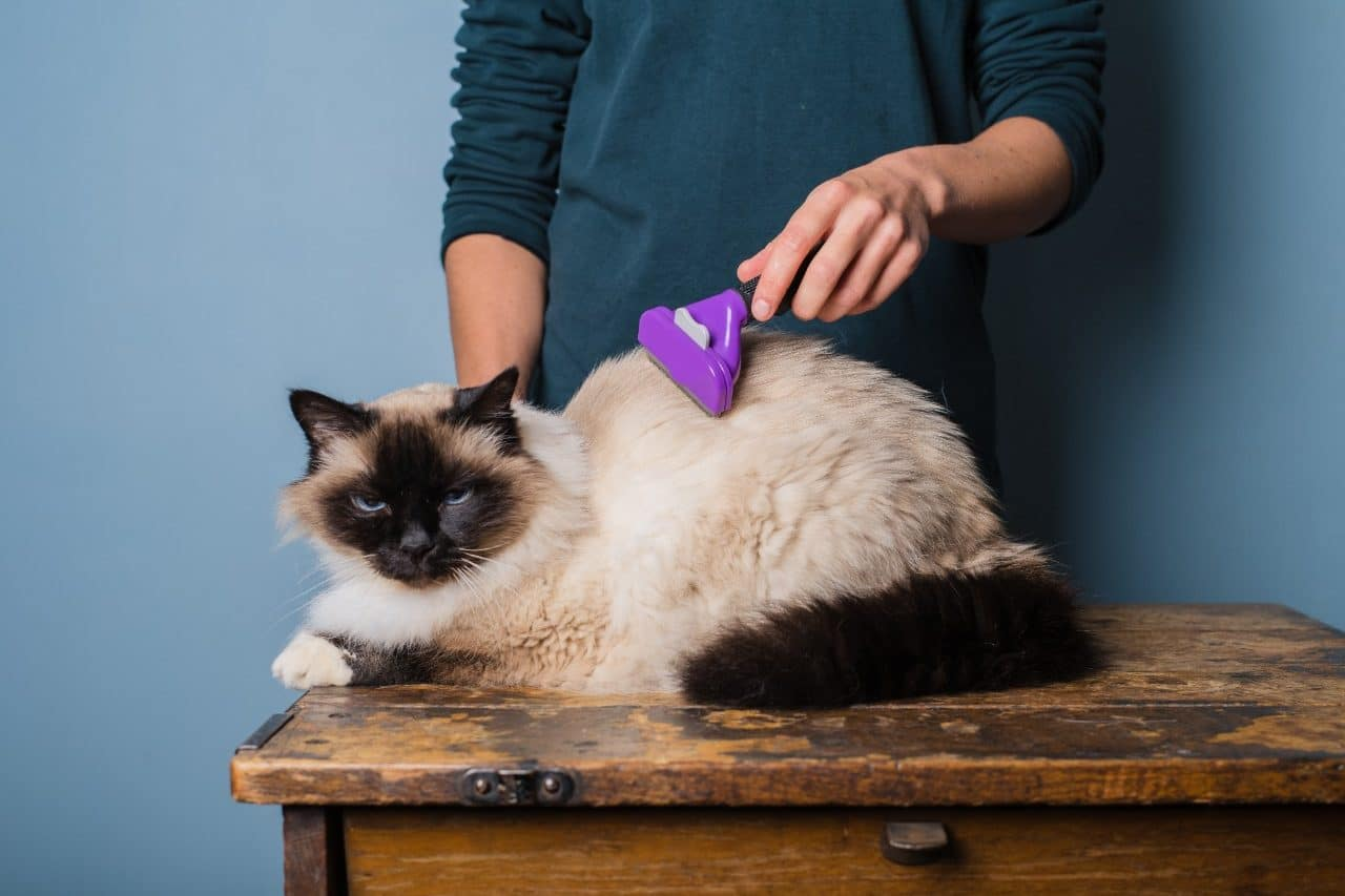 A young woman brushing her long haired Birman cat with a de-shedding brush