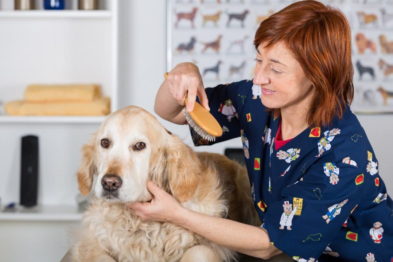 Canine hairdresser in a beauty clinic with Golden Retriever