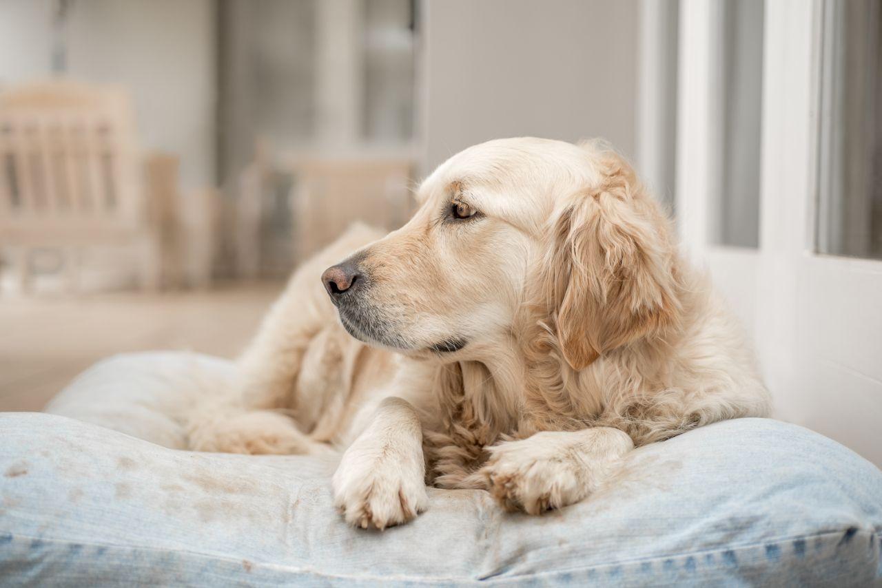 Golden Retriever Laying on Her Pillow