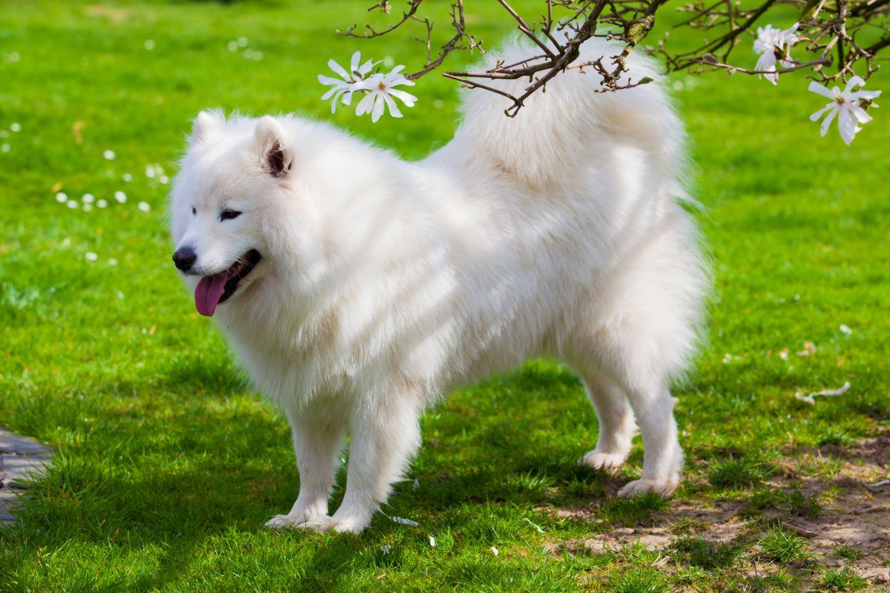 Samoyed Dog Outside