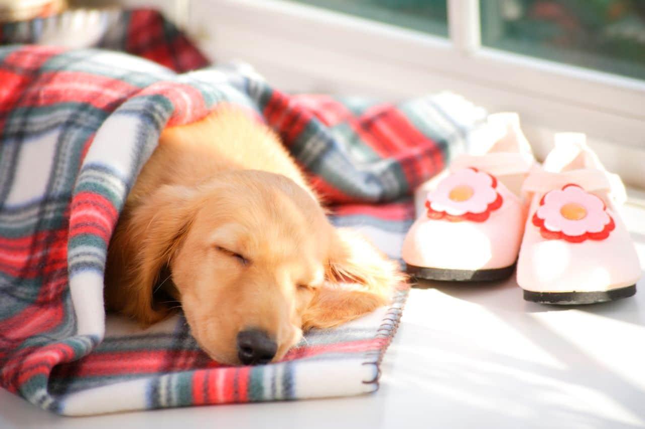 Dog Sleeping on Wool Fabric