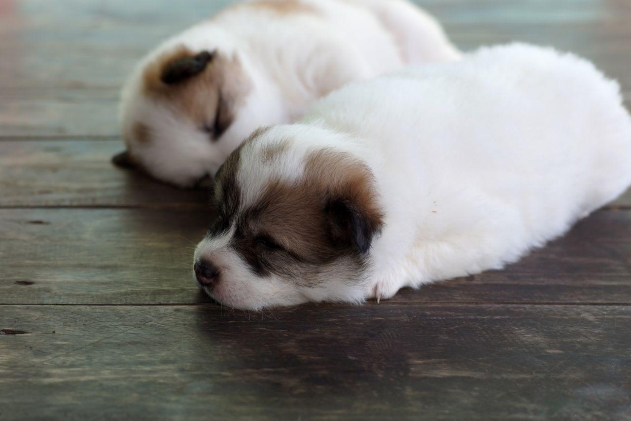 Puppy Bangkaew Dog Sleeping