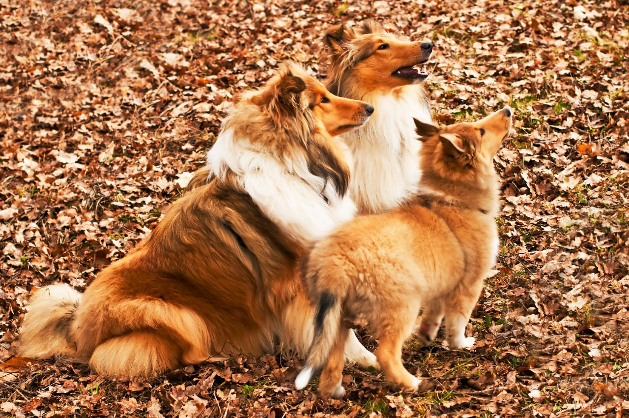 American and British collie Dogs Howling