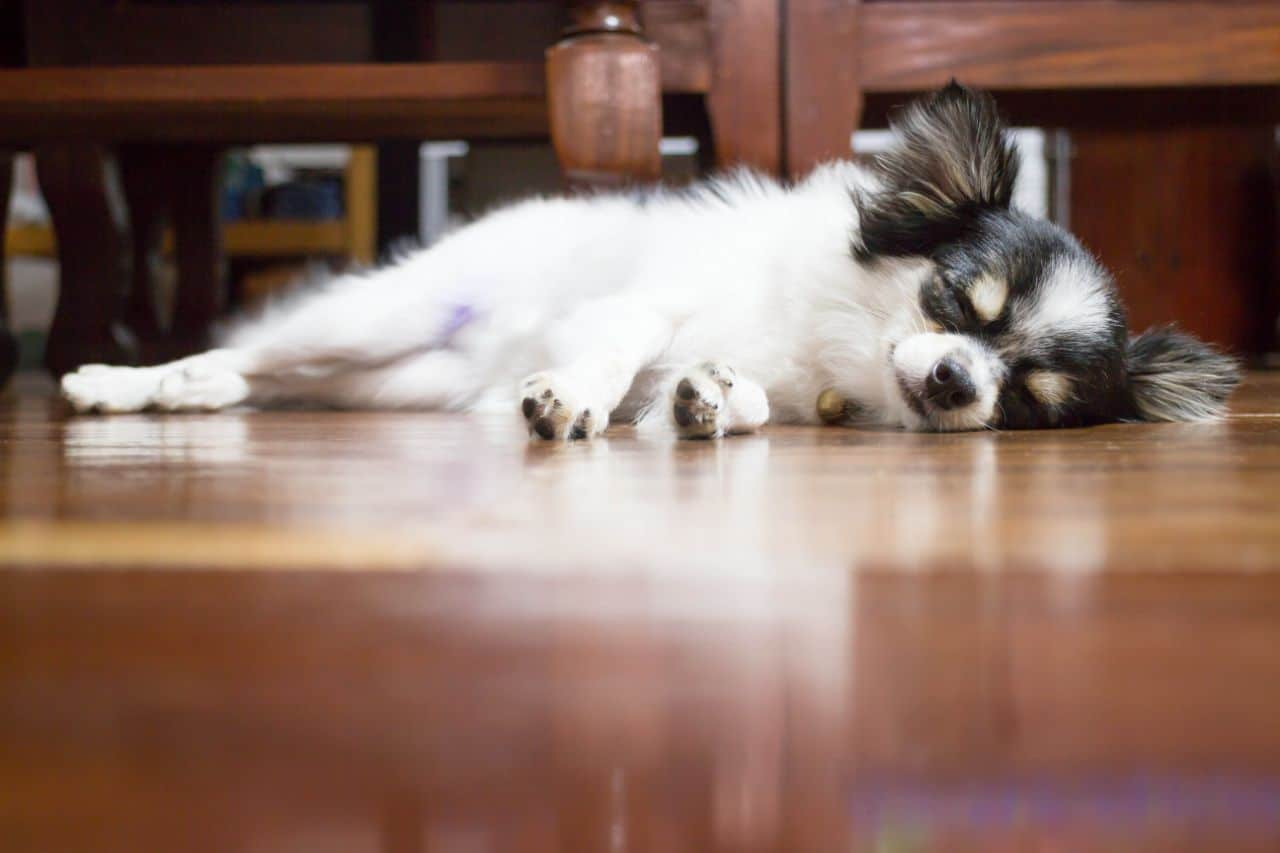 Cute Chihuahua Sleeping on Wooden Floor