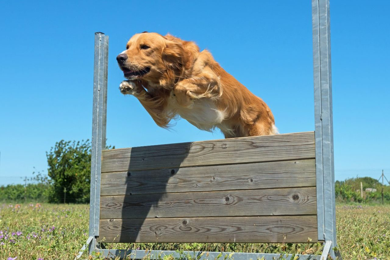 Dog Jumping Obstacle Training