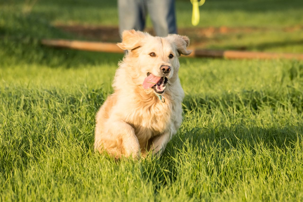Golden Retriever Runs and Plays in Grass