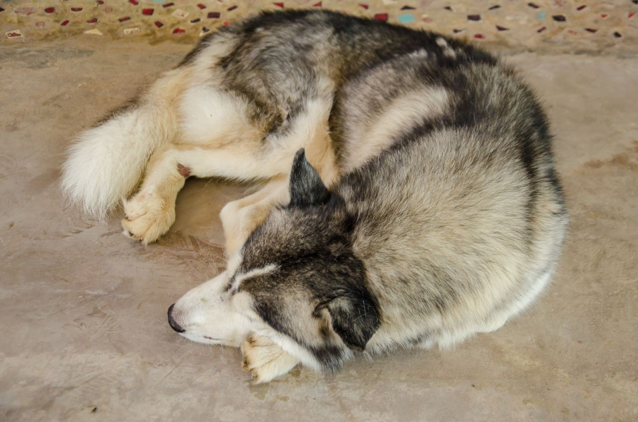 Siberian Dog Sleeping