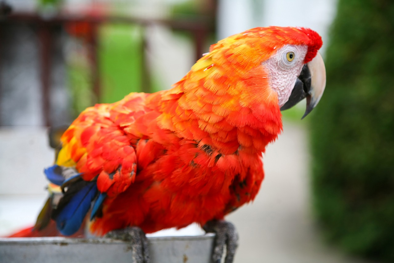 A colorful scarlet macaw parrot