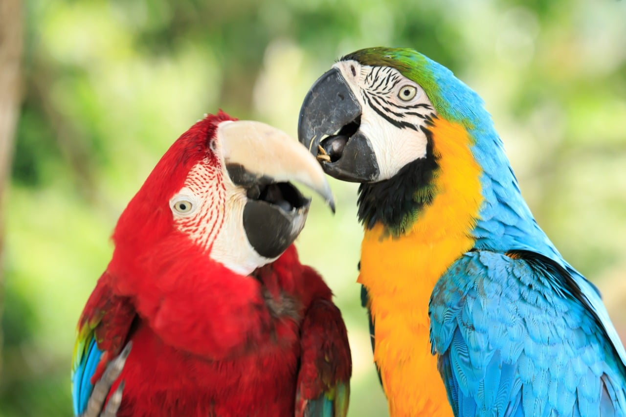 A pair of two cute macaw parrots