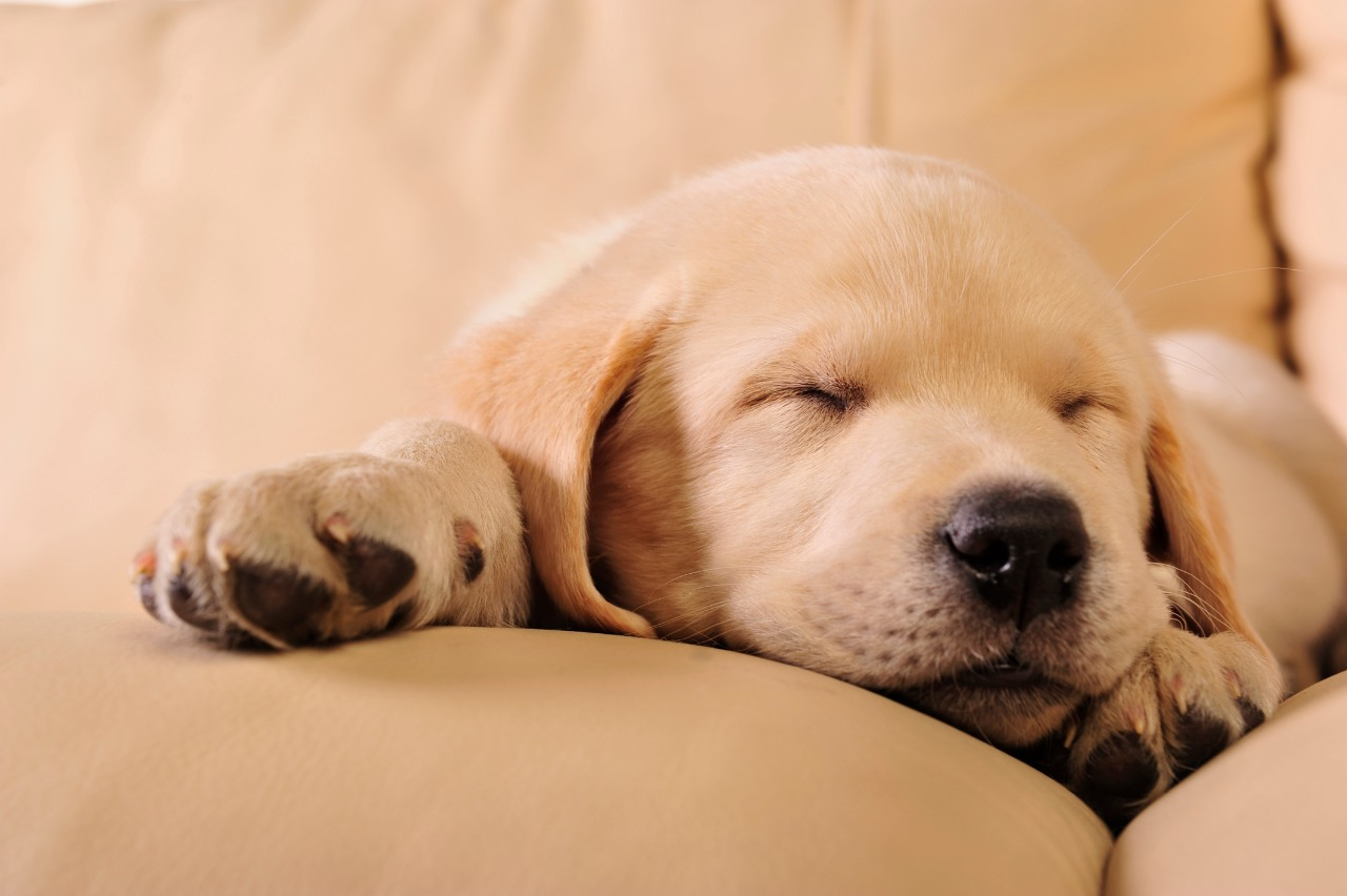 Adorable labrador puppy sleeping on the sofa