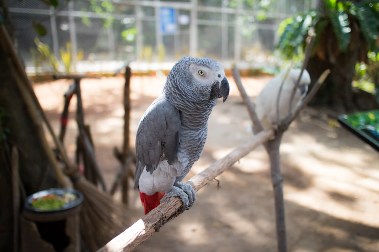 African grey parrot perched on a stick