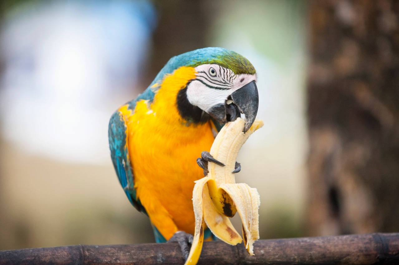 Blue and yellow parrot eating banana