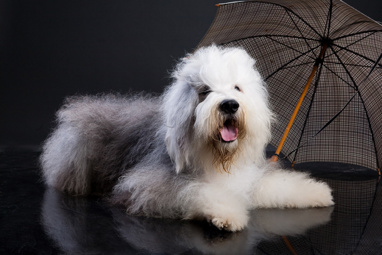 Bobtail long hair dog  Sitting near the umbrella