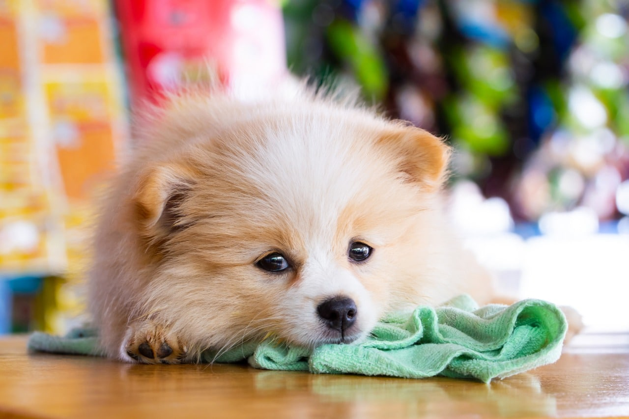 Brown Pomeranian laying on the floor looking forward