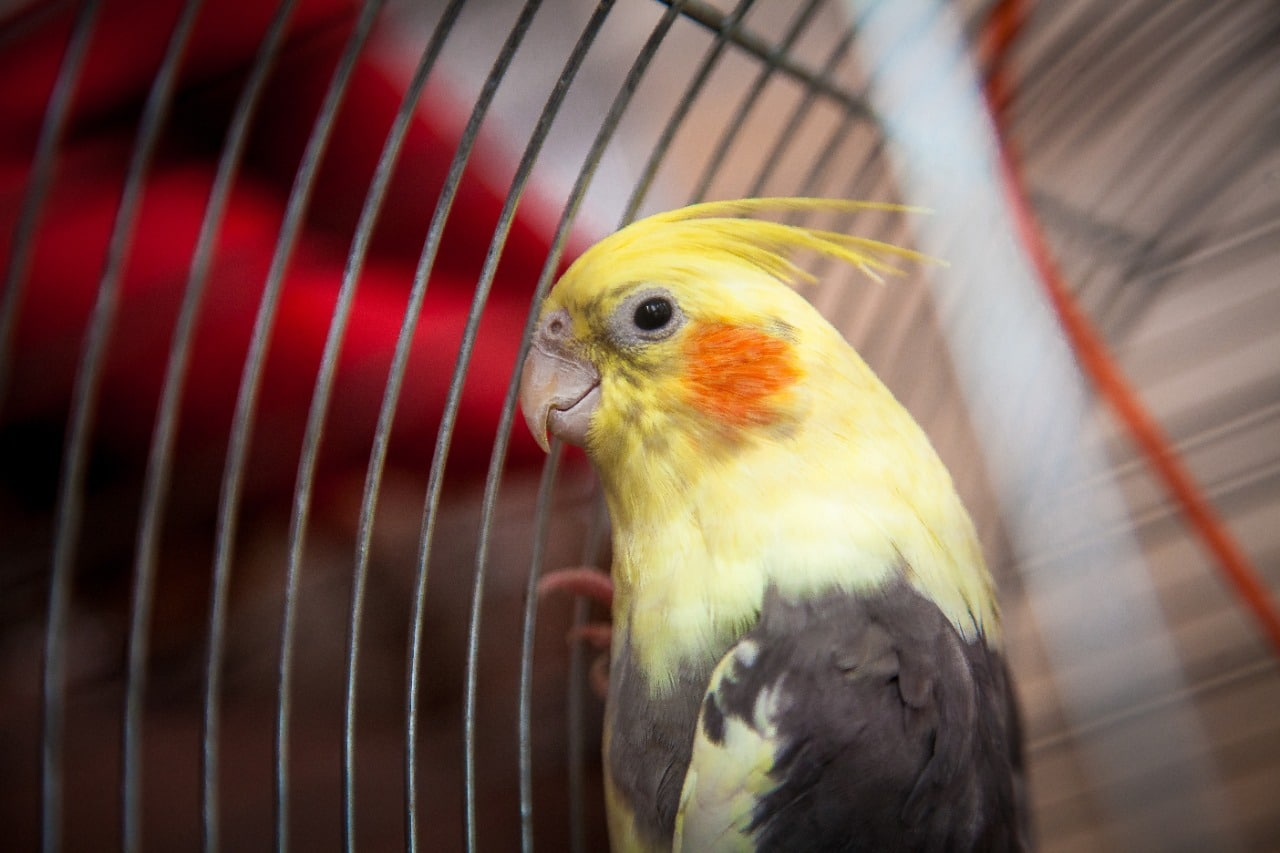 Closeup photo of a cockatiel parrot sitting in cage