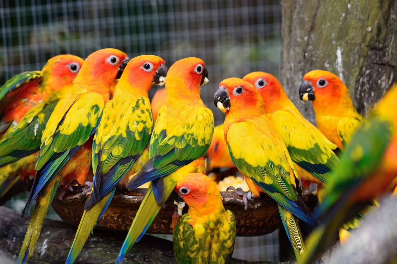Colorful sun conure parrot bird eating the food
