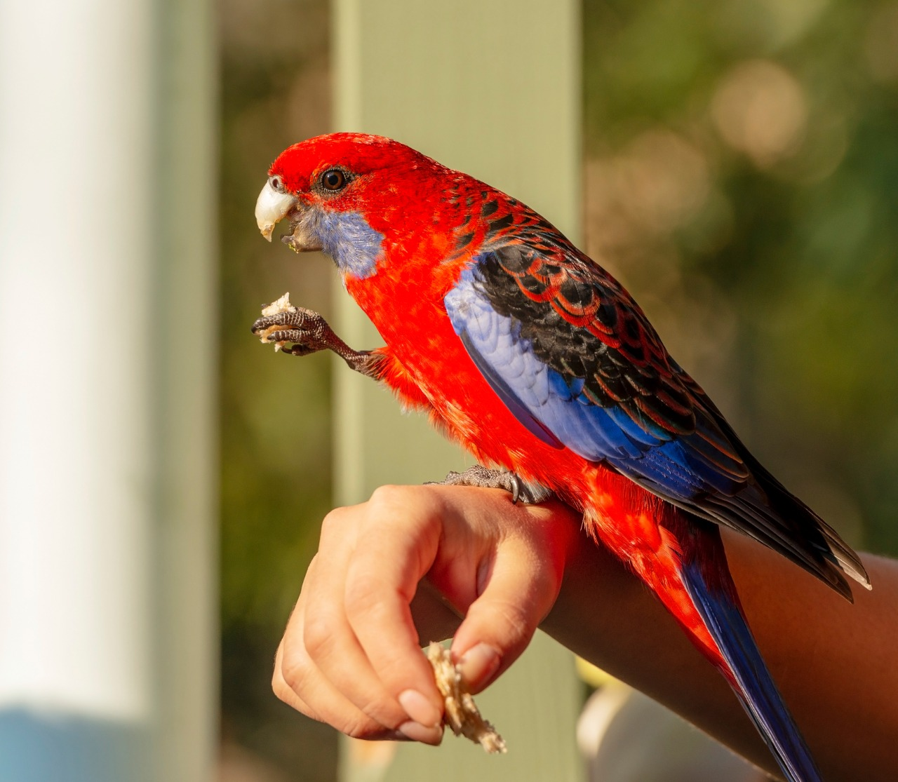 Crimson Rosella eating while standing on owners hand in the afternoon sunlight