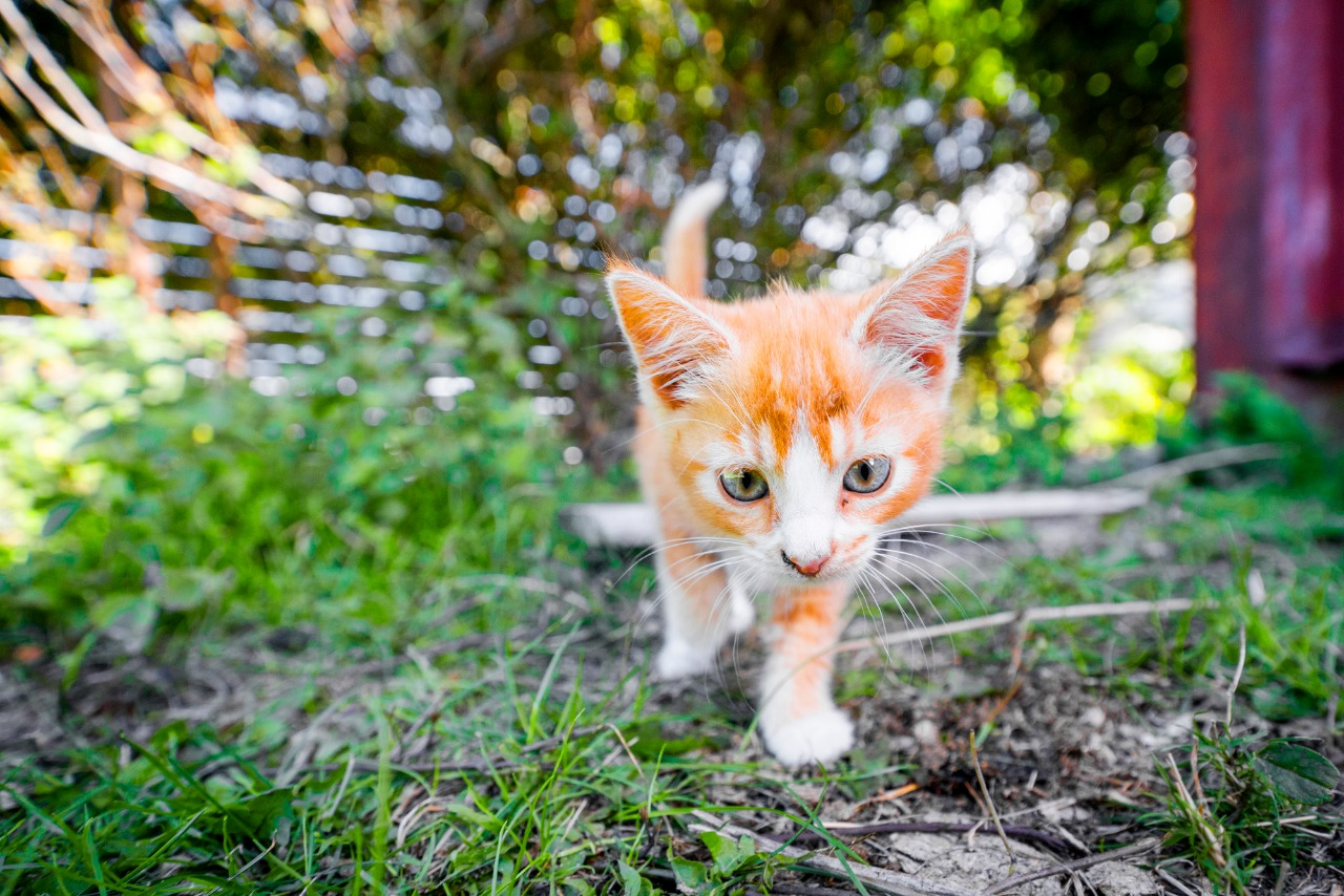 Cute kitten in orange color playing in the backyard