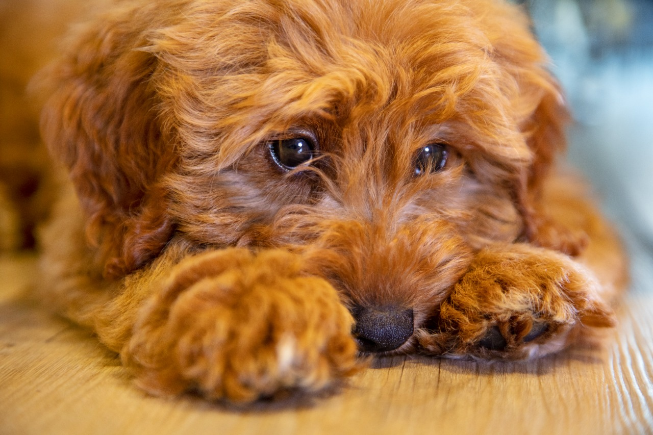 Cute labradoodle puppy dog laying down looking sad