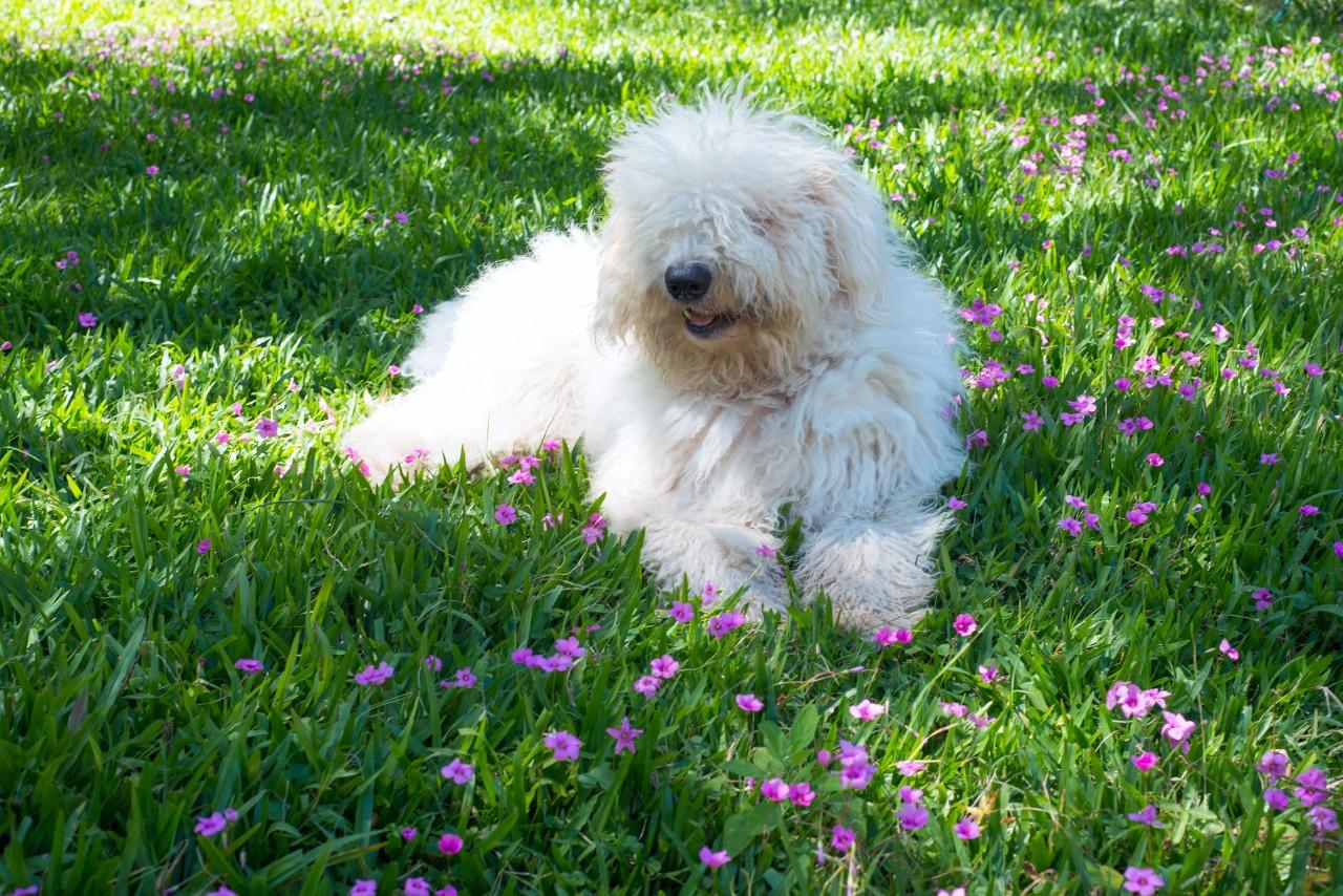 Cute young dog Komondor lying on a flowering grass