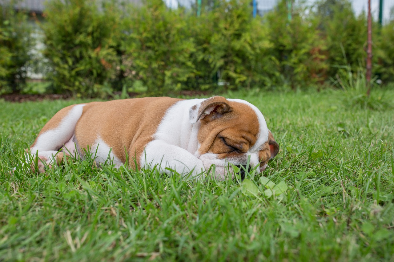 English puppy bulldog sleeping in grass