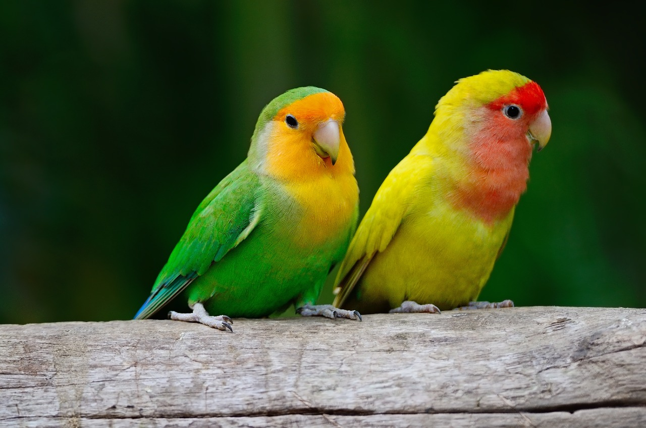 Green and yellow lovebird, standing on a log