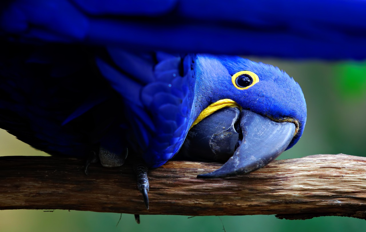 Hyacinth Macaw standing on branch outside