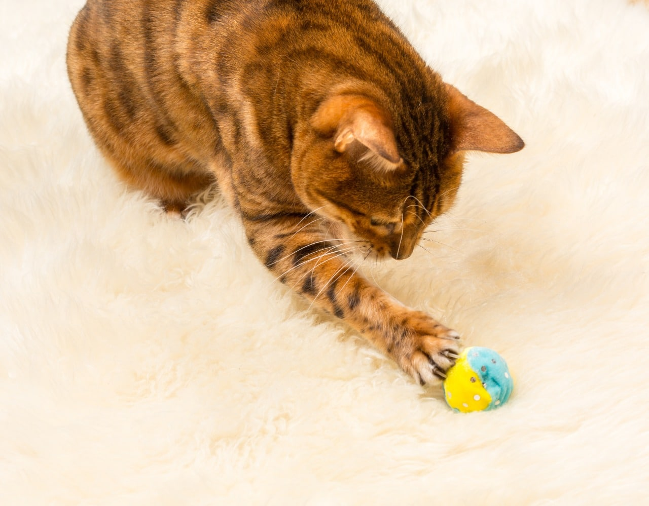 Orange and brown bengal kitten cat playing with ball on a wool rug
