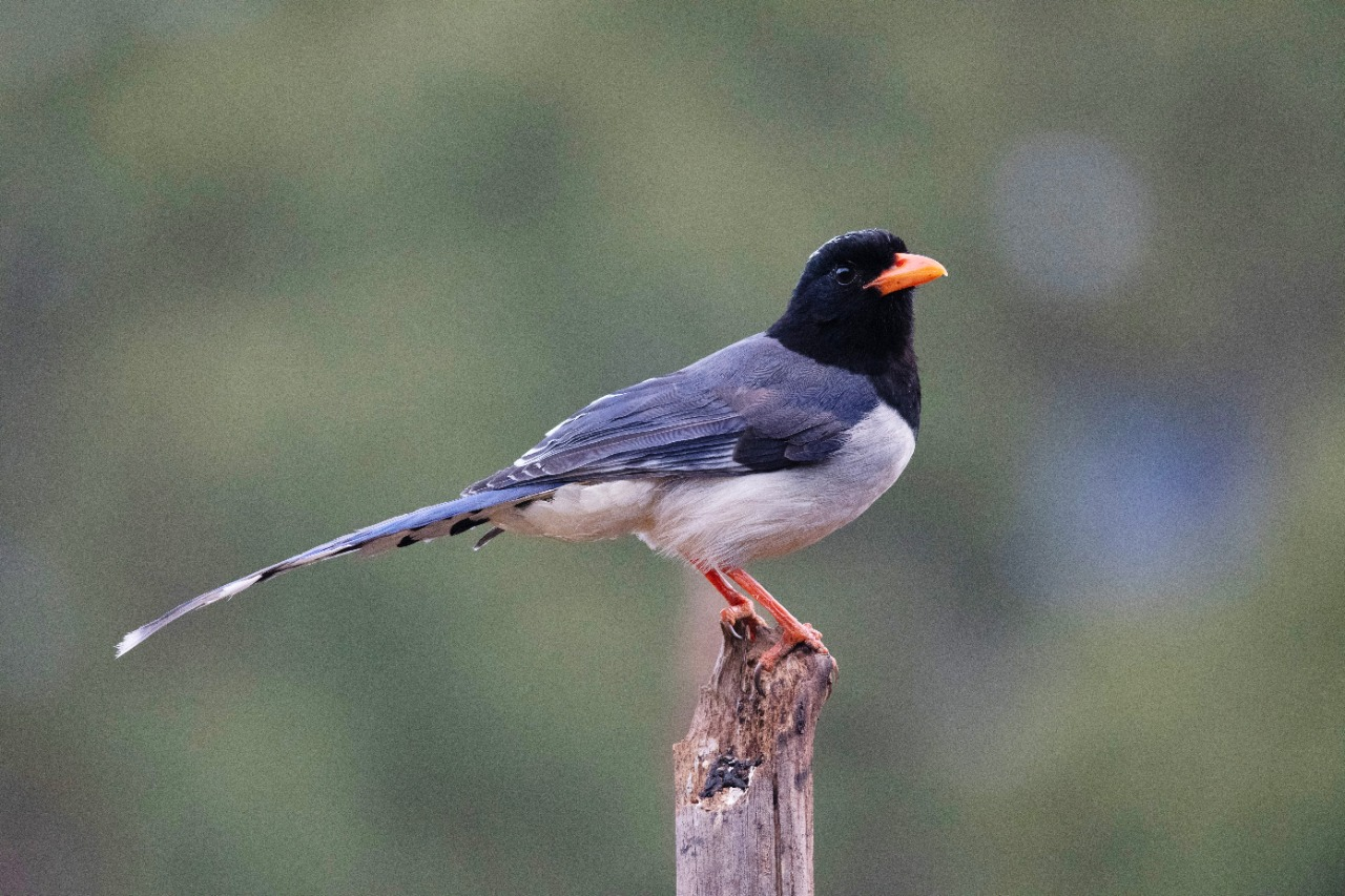 Red billed blue magpie standing on stick
