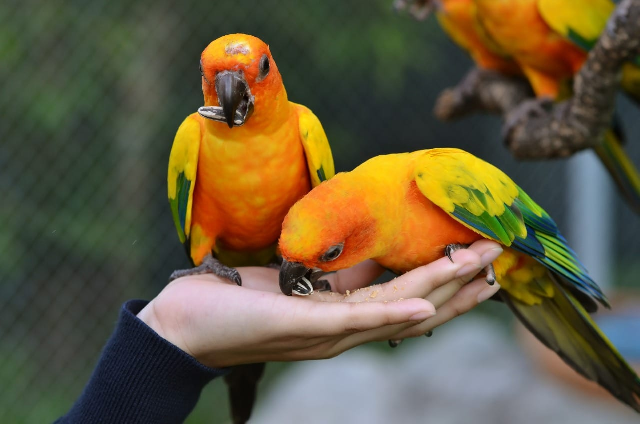 Sun conure parrot eating from owner hand