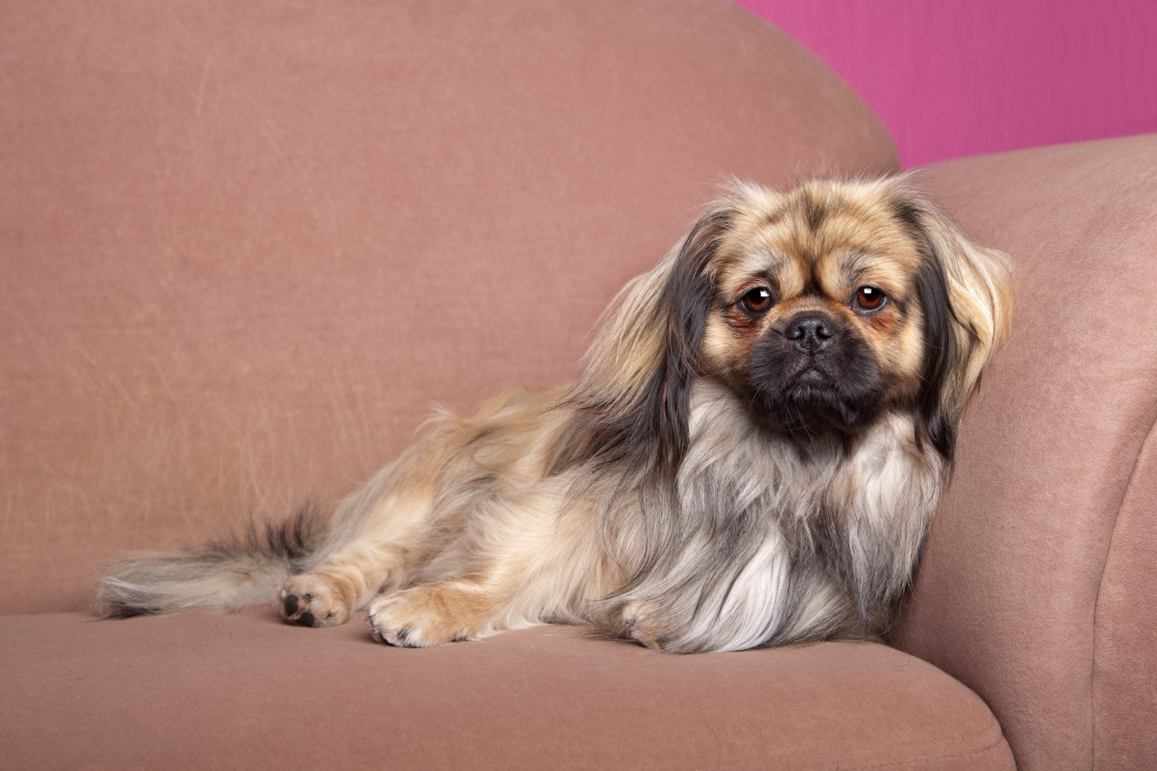 Tibetan Terrier lying down on a brown couch