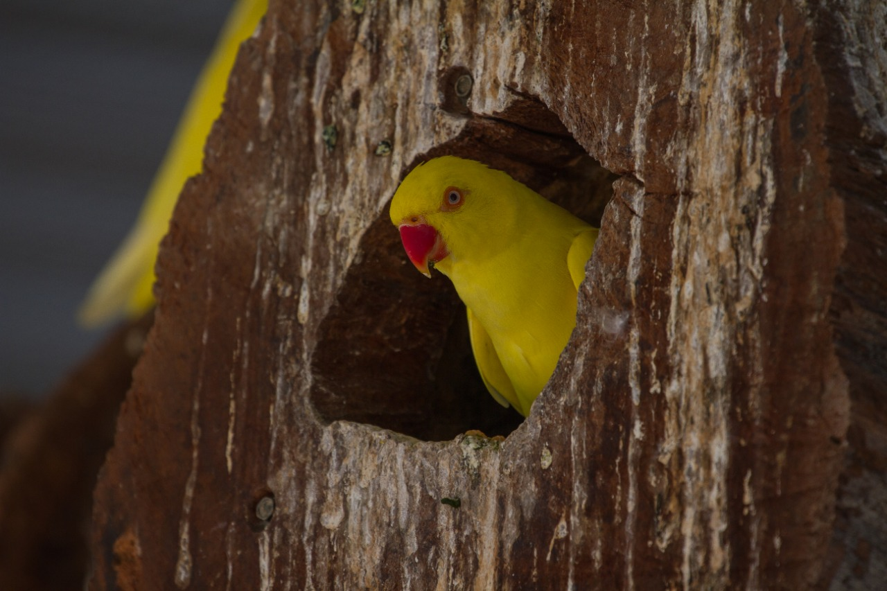 Yellow parrot in nest hole