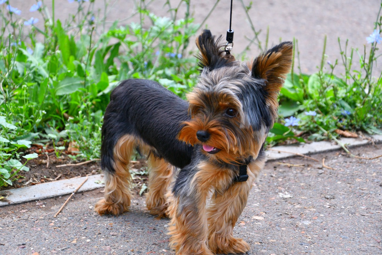 Yorkshire Terrier on a walk early in the morning