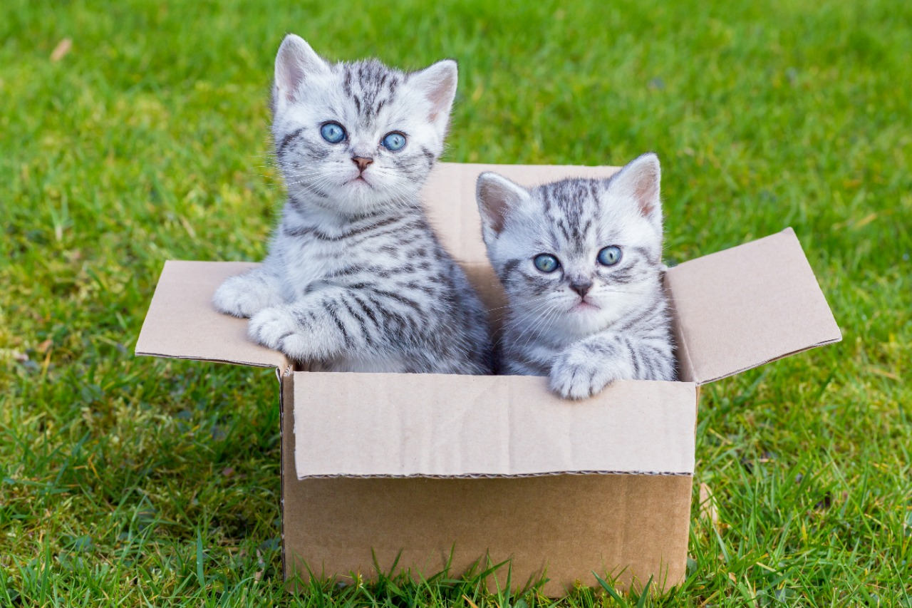 Young british shorthair black silver tabby cats in cardboard box on grass