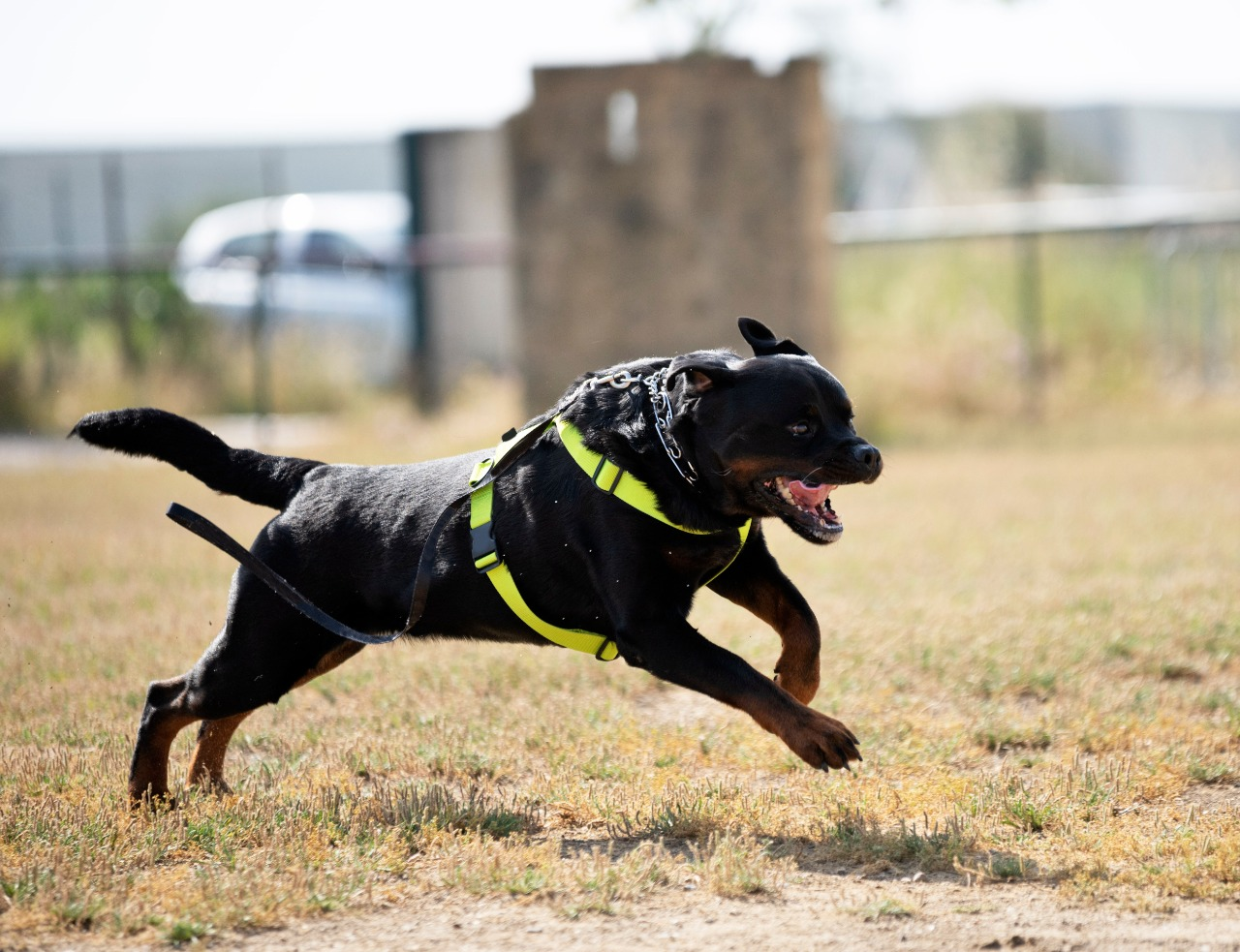 a rottweiler training in nature