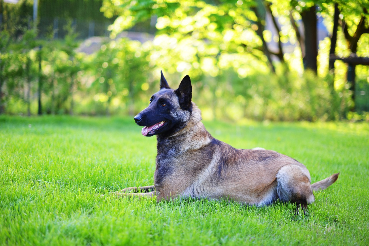 belgian shepherd dog lying on grass