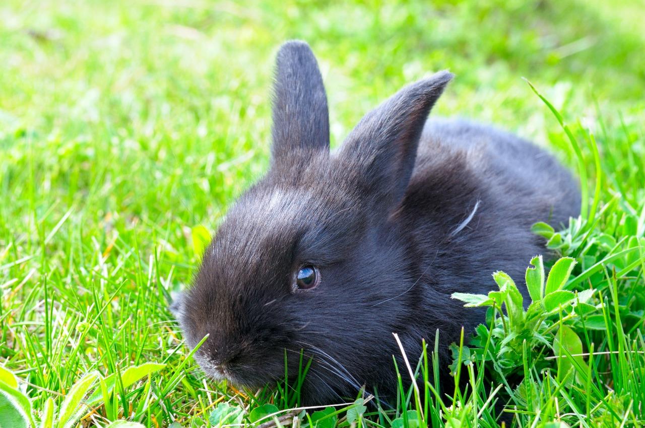 black rabbit on green grass