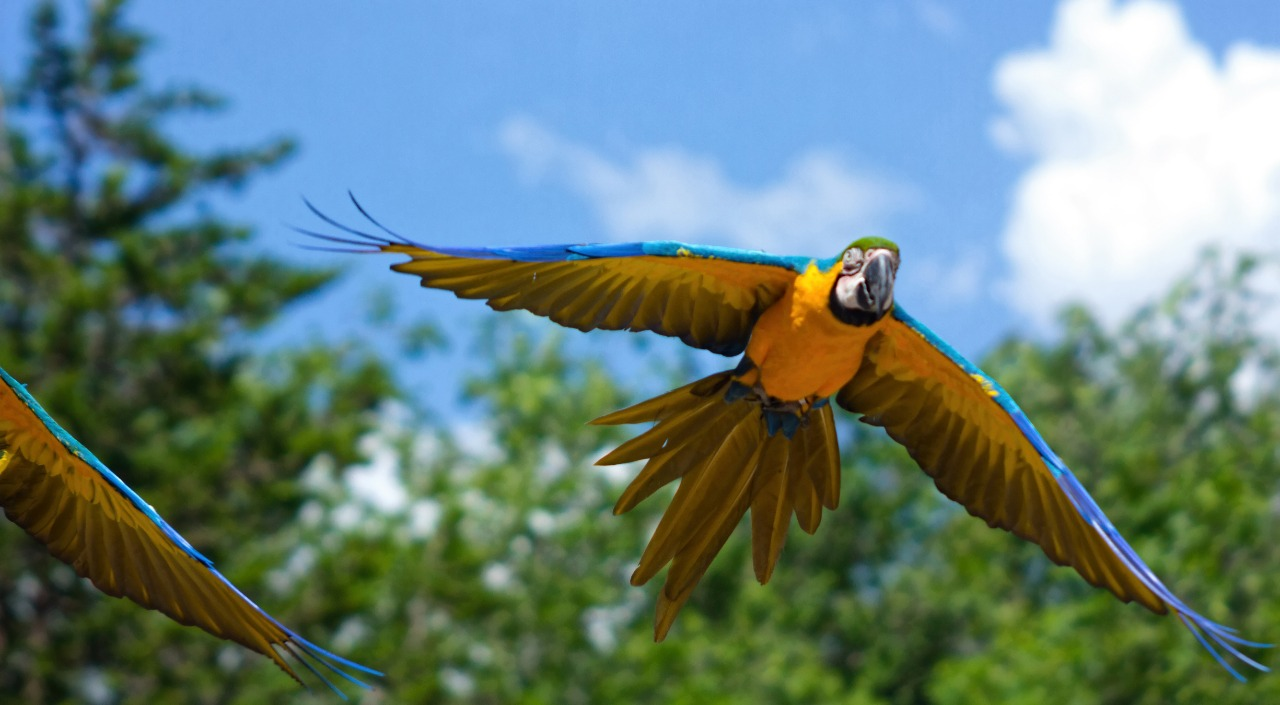 blue and yellow parrots flying