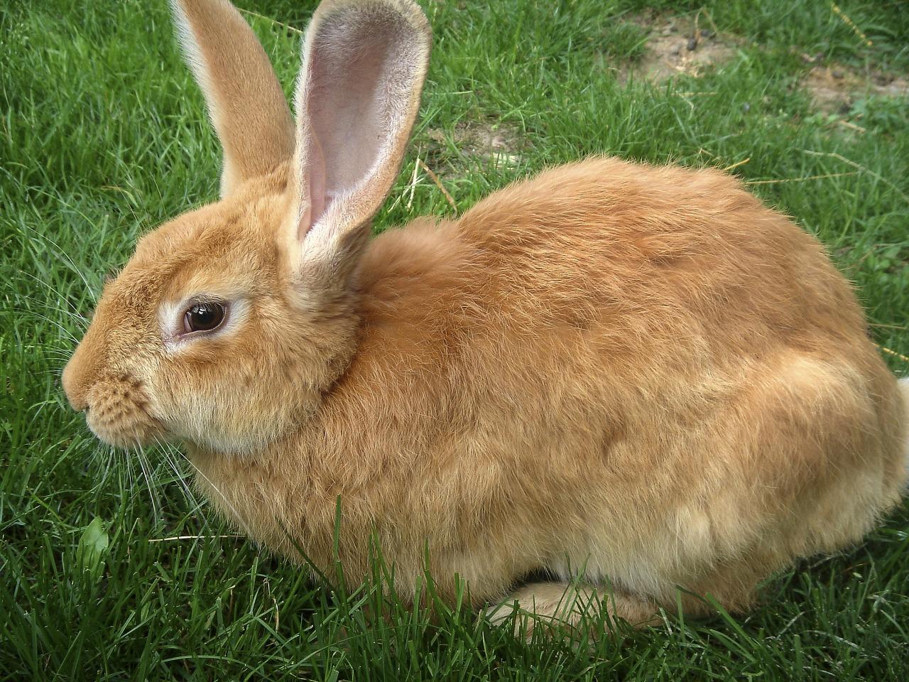 brown pregnant rabbit