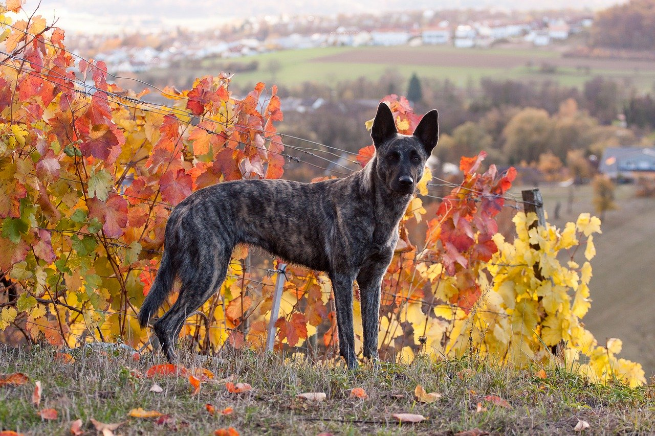 dutch shepherd standing outside in autumn
