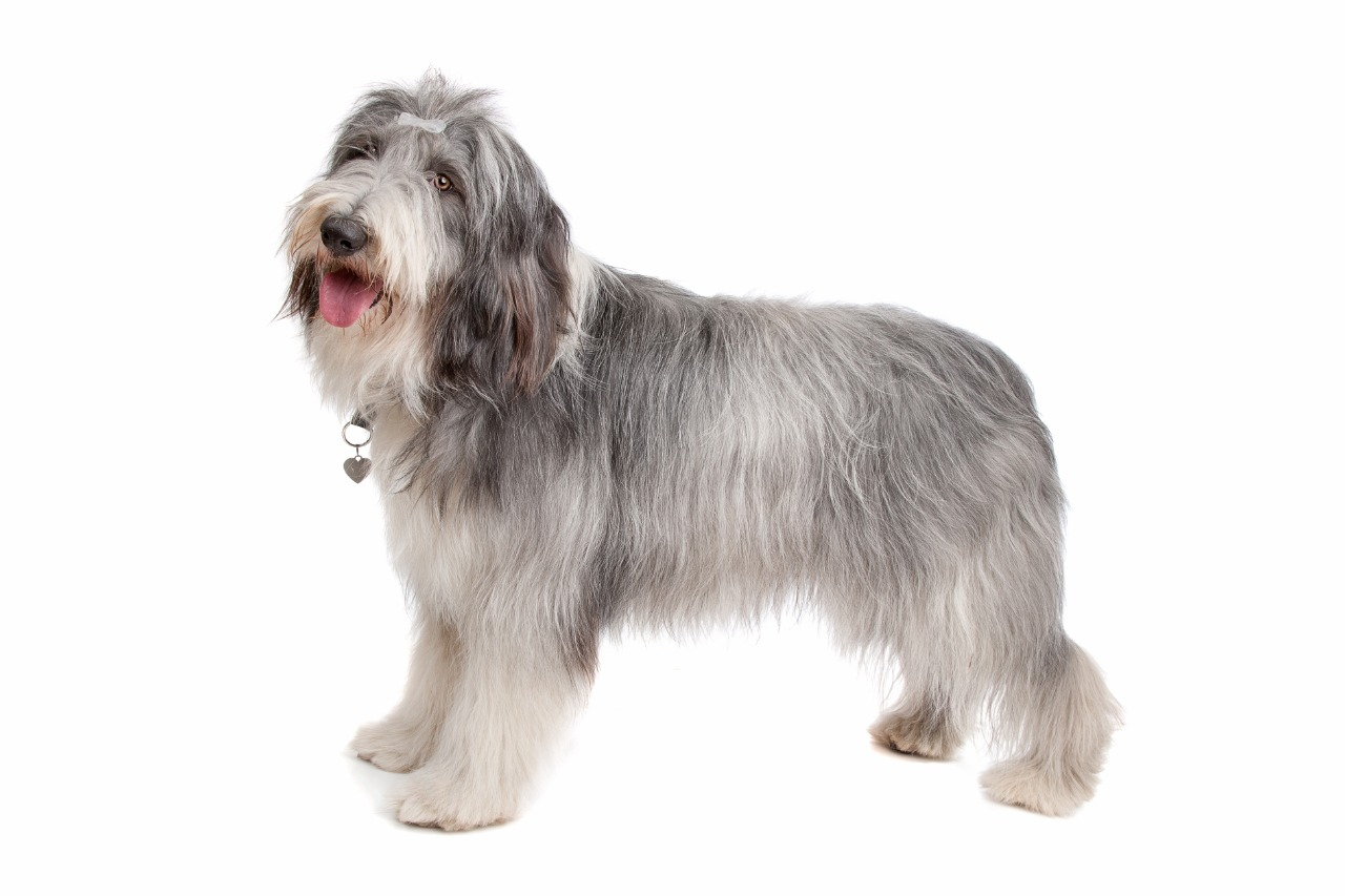 long haired bearded collie standing up