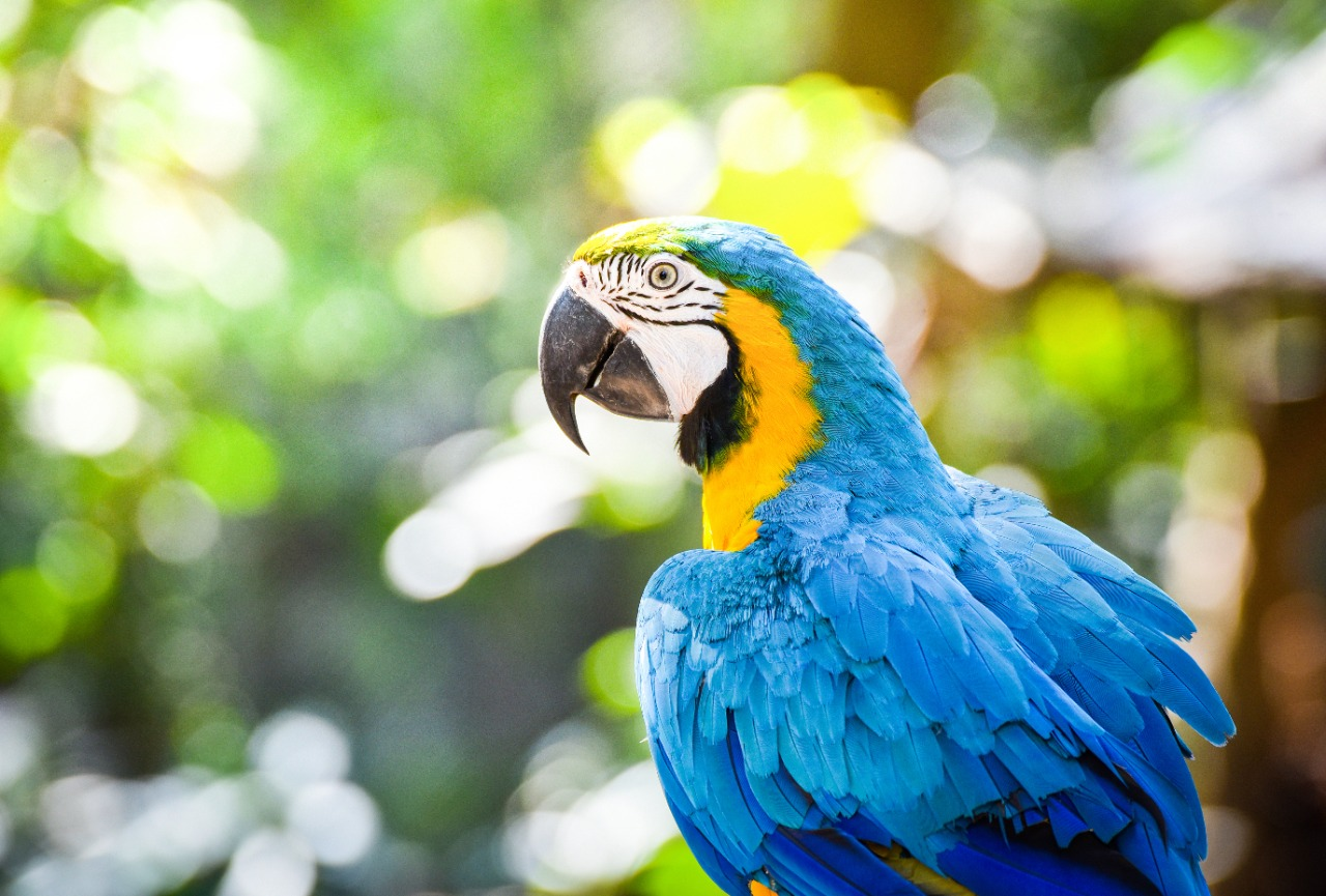 macaw bird parrot on tree branch, blue and yellow macaw
