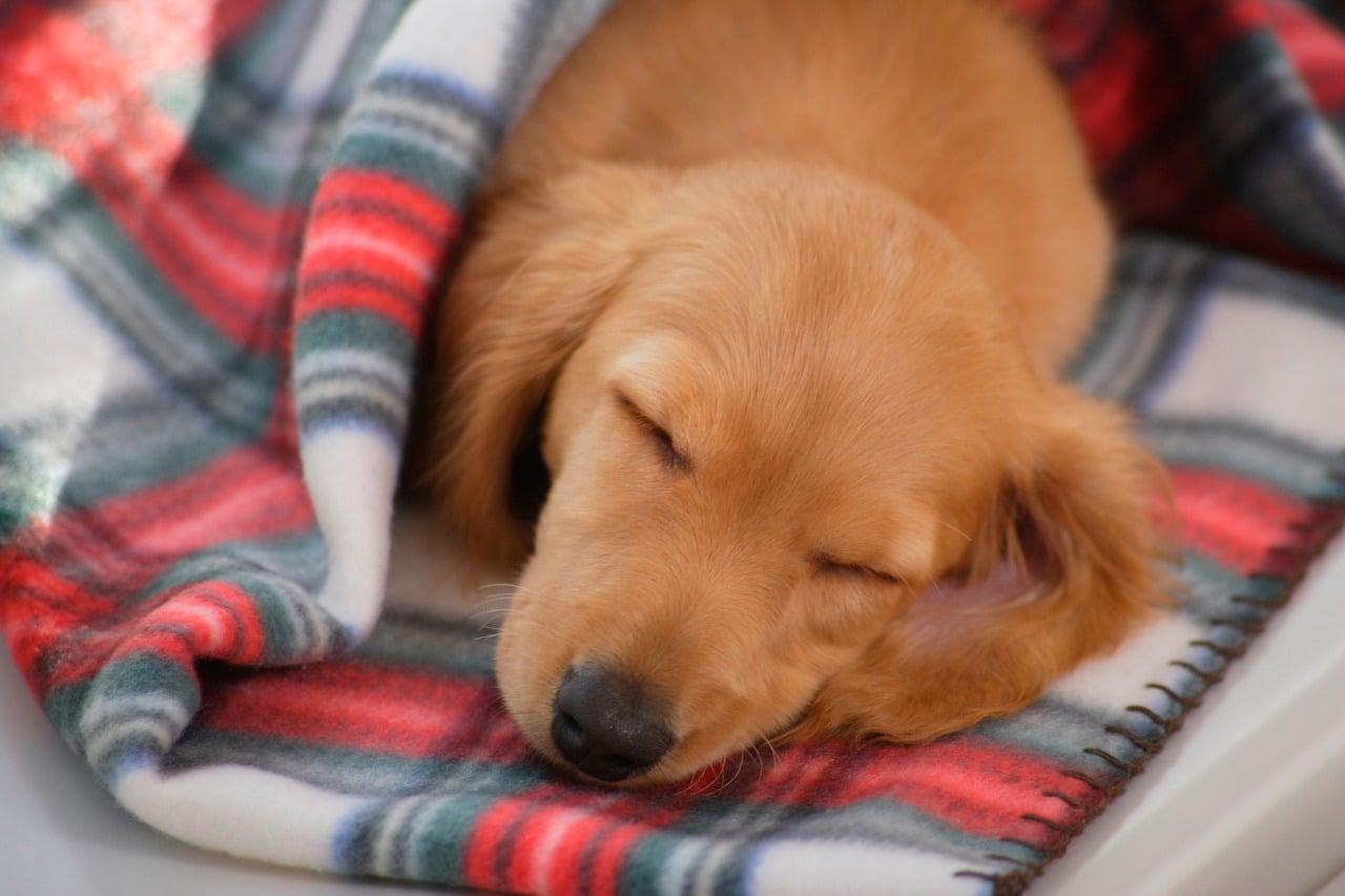 small dog sleeping in blanket