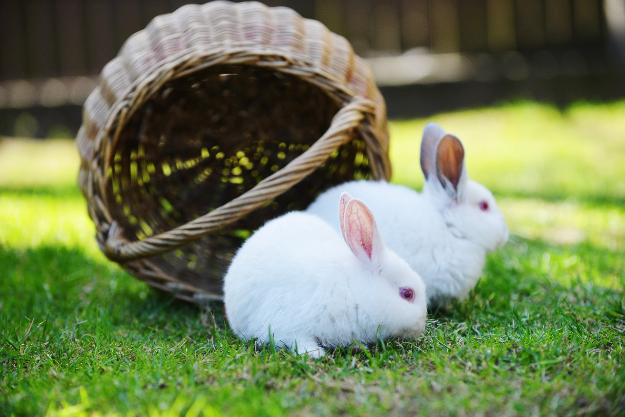 American rabbit in basket on grass