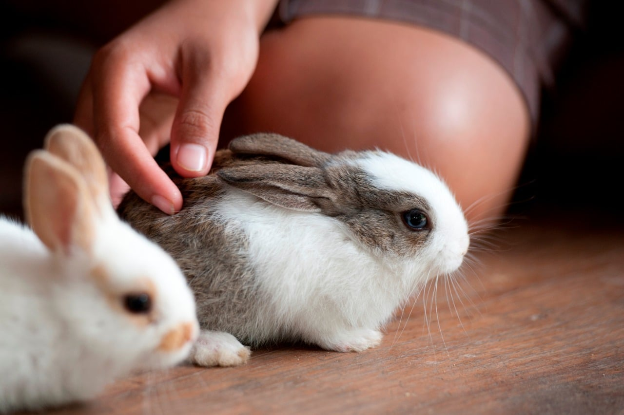 woman playing with white and gray baby rabbit