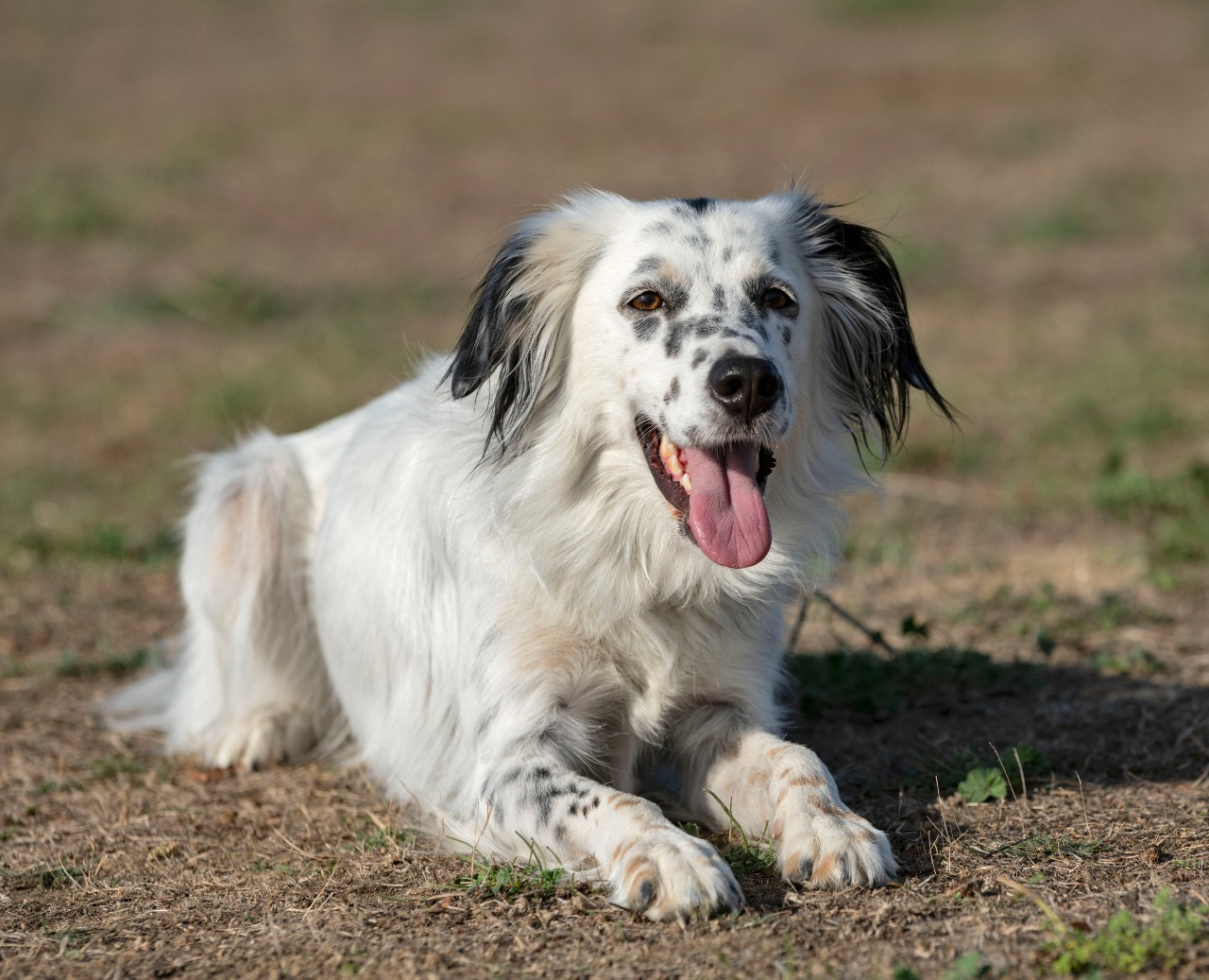 young english setter sitting and resting in the nature