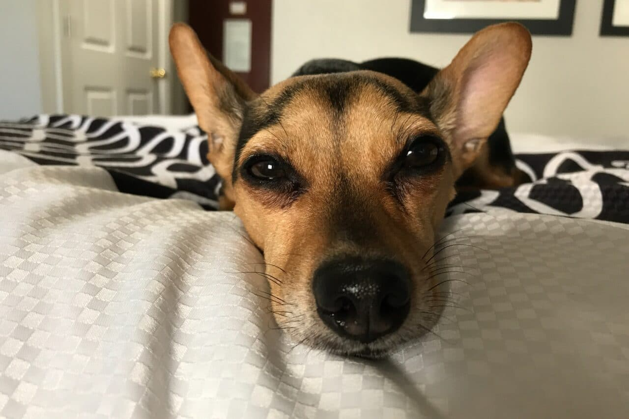 Black-Brown Chiweenie laying on owner bed