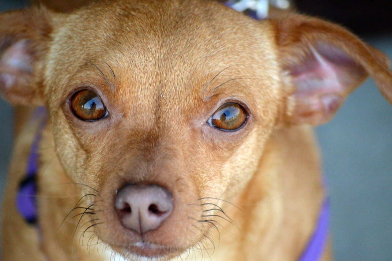 Brown Chiweenie looking into camera