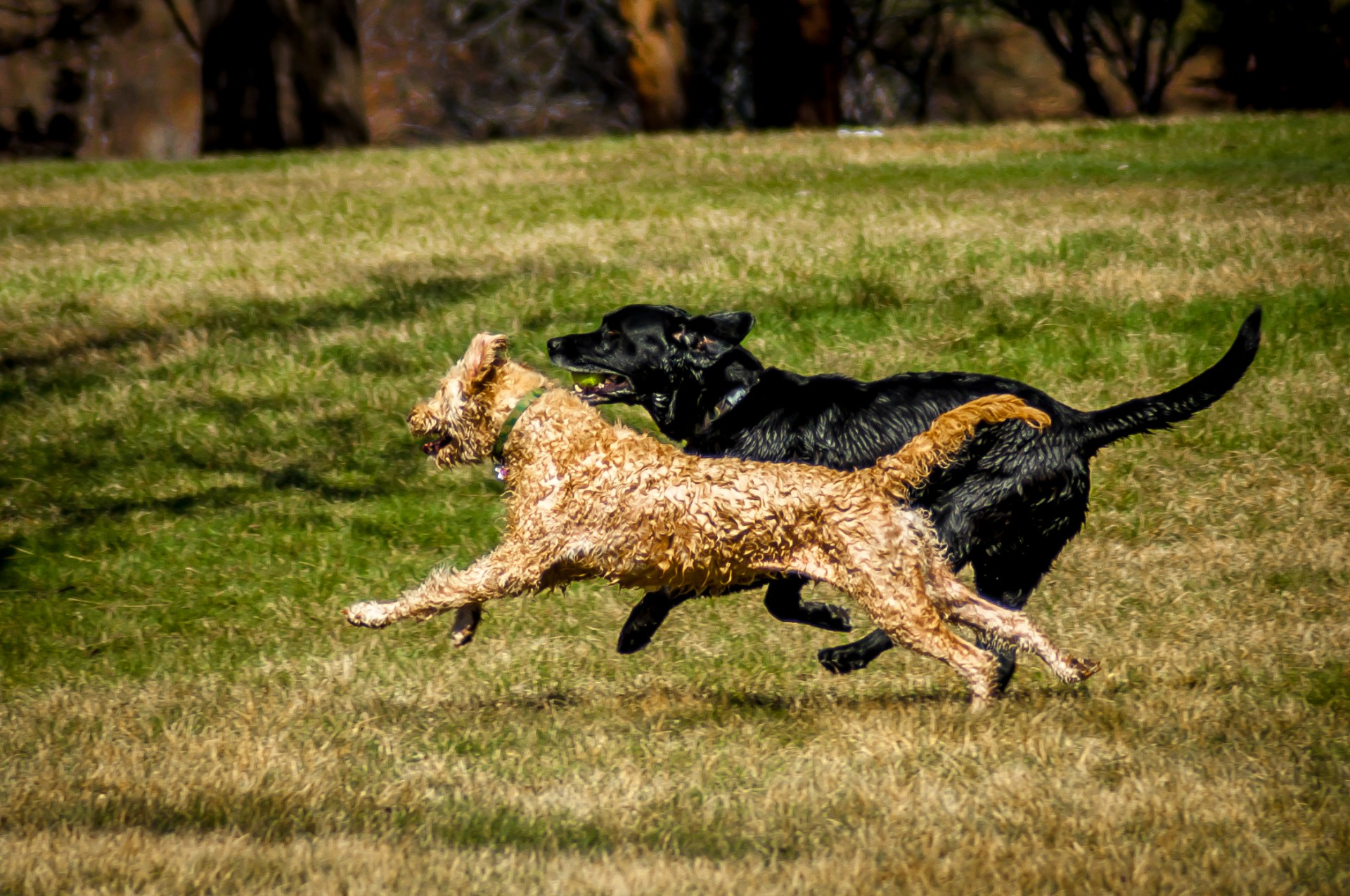 black and brown labradoodle running on grass