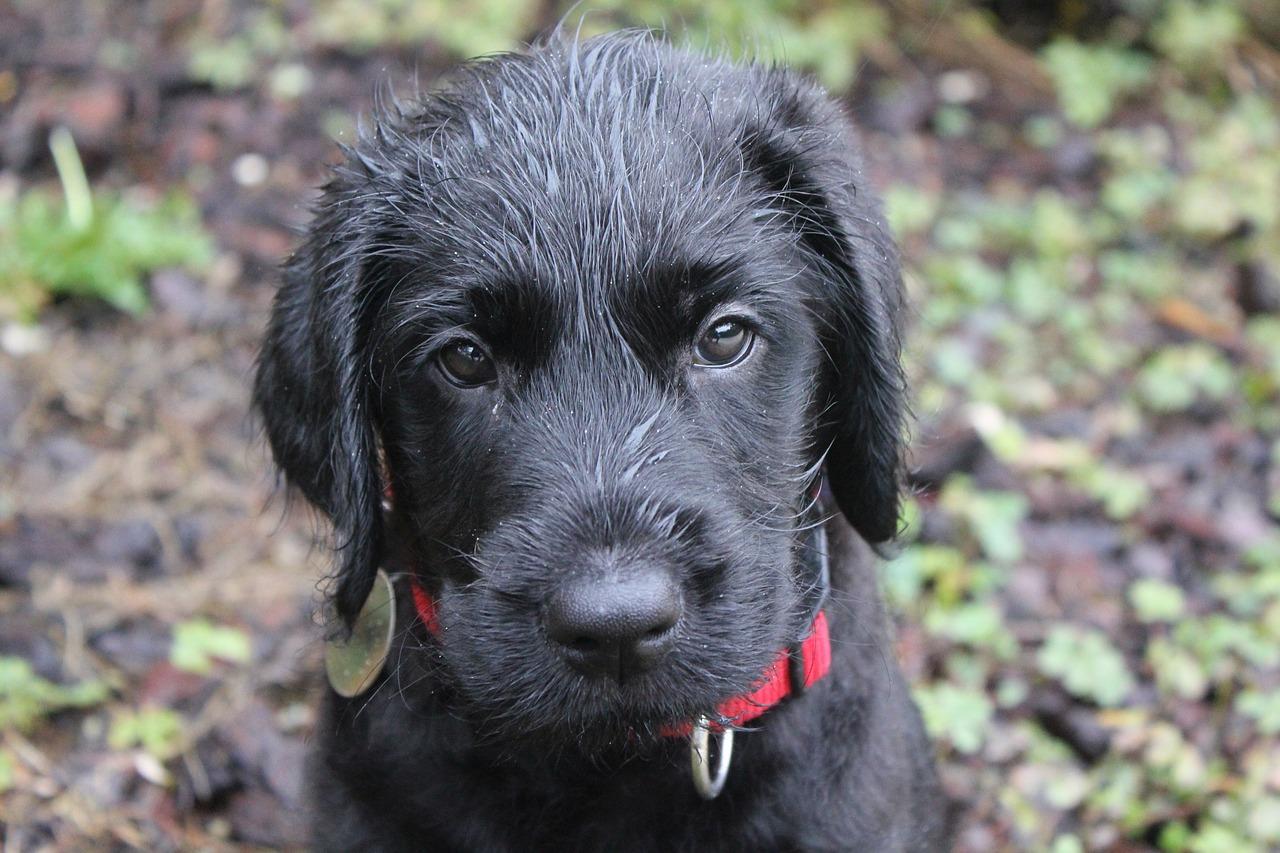 black labradoodle dog puppy1